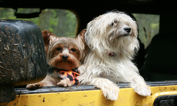 แนะนำวิธีการพาสุนัขติดรถไปด้วย