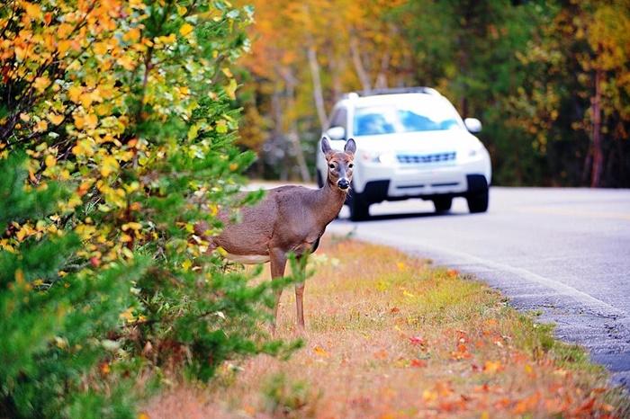 หากเจอสัตว์ใหญ่ ให้ชะลอความเร็ว และรอให้สัตว์เหล่านั้นเดินข้ามถนนไปก่อน