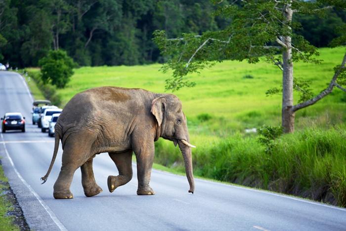 กรณีเจอช้างป่า ควรหยุดรถให้ห่างจากตัวช้างไม่ต่ำกว่า 30 - 50 เมตร